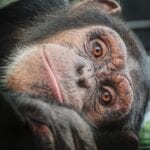 Project Chimps – It's Their Time to Live